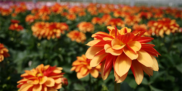 Dahlias in full bloom