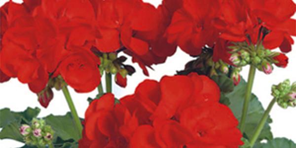 Elanos Bright Red